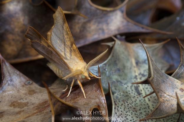 Dusky Thorn {Ennomos fuscantaria}
