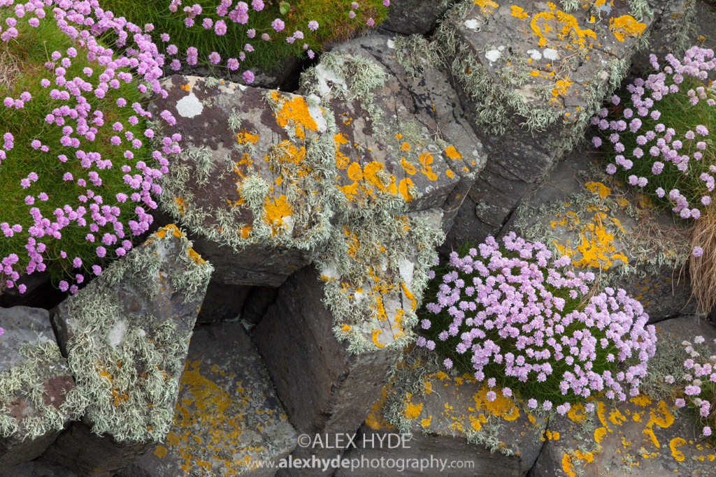 Thrift {Armeria maritima} - Isle of Staffa