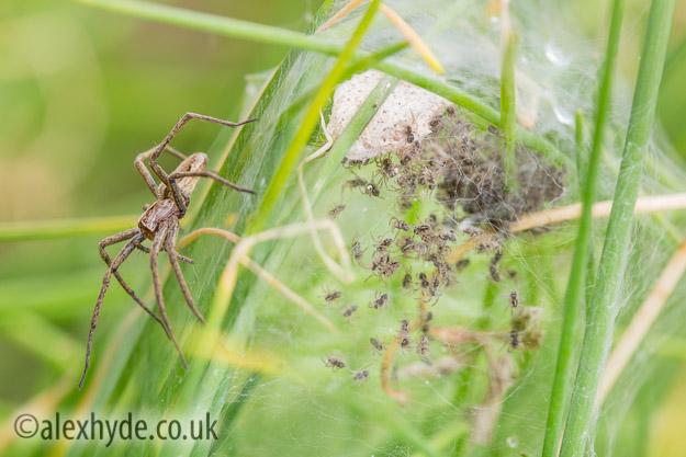 Nursery Web Spider {Pisaura mirabilis}